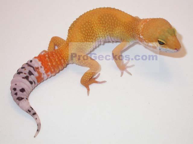 Tangerine Leopard Geck...
