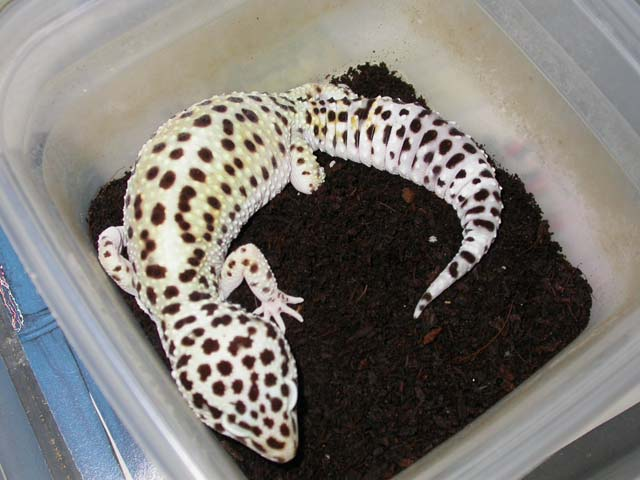 Breeding Leopard Geckos Is Not A Difficult Task It Unmon For New Breeder To Have Success On The First Attempt You Often Only Need Healthy